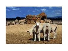 Sheep and lamb rations and nutritional supplements from Horsham Stockfeeds