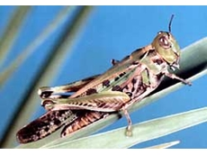 Plague locust control will require sound pesticide risk management