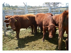 Devonshire cattle are well known for their high fertility rate and good quality meat
