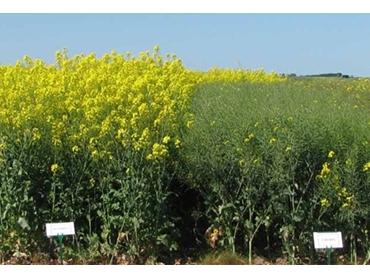 Hybrid canola crops