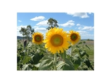 Hybrid sunflowers from Pacific Seeds
