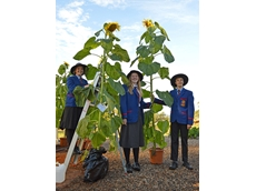 QLD sunflower competition draws record-beating entries