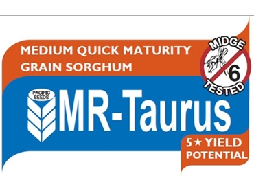 Quick with solid standability MR-Taurus grain Sorghum