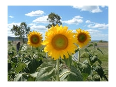 The Hysun and Hyoleic range of hybrid sunflowers