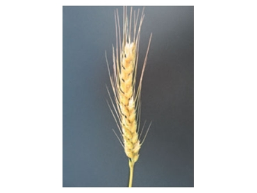 High quality Wheat Seed varieties from Pacific Seeds science
