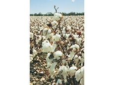 The new project aims to quantify the benefits many growers are seeing in their cotton crops after planting corn the previous summer season.