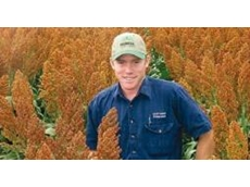 Grain sorghum 85G08 grown from hybrid seeds