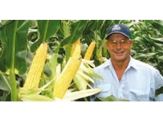 corn 3237 grown from hybrid seeds