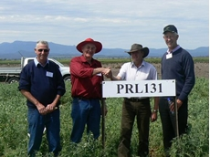 Steve Moore, Bernard Hart, Adrian Russell and Dr Ray King at a trial site of the new field pea CRC Walana (PRL131)