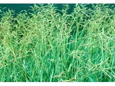Blue Dawn Brunswick grass