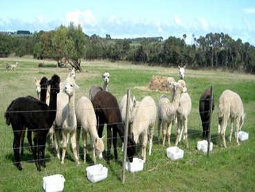 Alpacas eating the loose lick supplement
