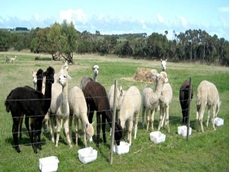 Weather Shield for cows, horses, goats, sheep and alpaca