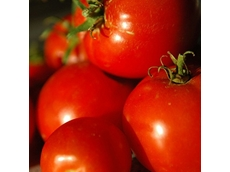 Sick provides solutions for growing tomatoes in large greenhouses