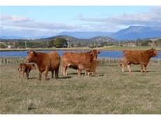 South Devon cattle increase profitability through straight or cross breeding