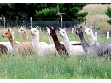 Alpaca breeders in Southern NSW produce alpacas that are renowned for their high quality fibre