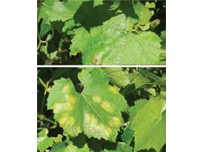 Downy Mildew Oil Spots
