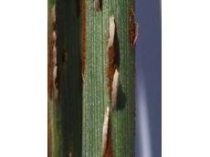 TILT XTRA fungicide controls Stem Rust