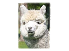 Alpaca breeders in the state of Tasmania are well represented