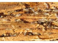 Termite colony baiting
