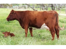 The Bank Shorthorns offers Well Balanced and Thick Bodied Female Cows