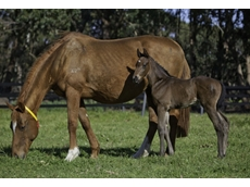 Thoroughbred horse breeders in Western Australia produce foals and horses that are highly sought after