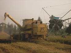 Pakistan harvest of rice grown using center pivots and linears for the 'Circles for Rice' research project
