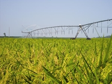 Dennis used a Valley centre pivot to grow a RiceTec hybrid rice