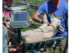 EID tagging of lambs in the Vetmarker