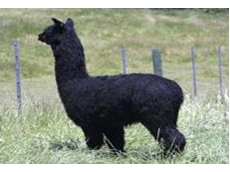 VER represents alpaca breeders situated in the eastern region of Victoria