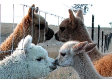 Alpaca breeders from the South Australian border through to Ballarat are represented by Alpacas VicWest