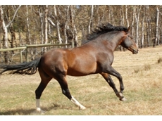Waler horses are an endangered breed