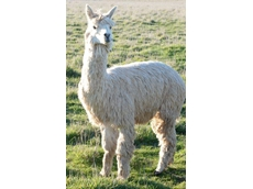 Suri and Huacaya alpacas available from Wardlaws Alpacas