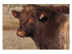Weebollabolla Shorthorn cattle
