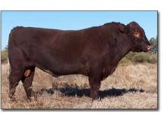Shorthorns Cattle Breeding Programs