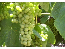 Wine Grape Growers Australia (WGGA)